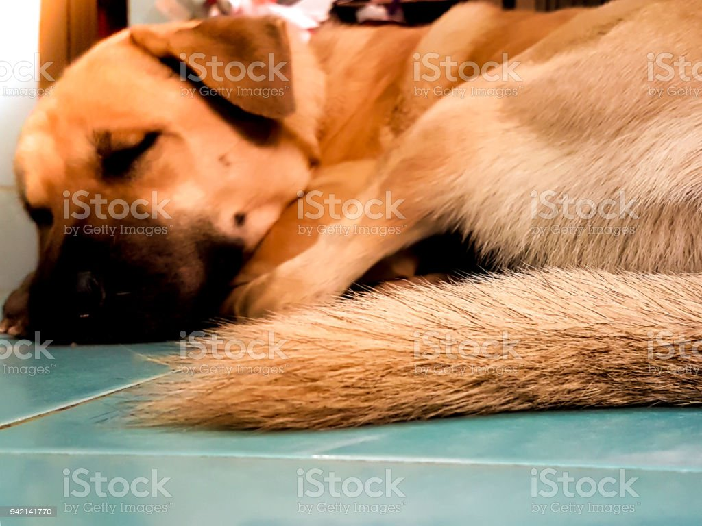brown long hair of dogs tail who is sleeping on the tile floor stock photo download image now istock