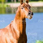 Chestnut Arabian Horse Stallion Portrait Stock Photo Download Image Now Istock