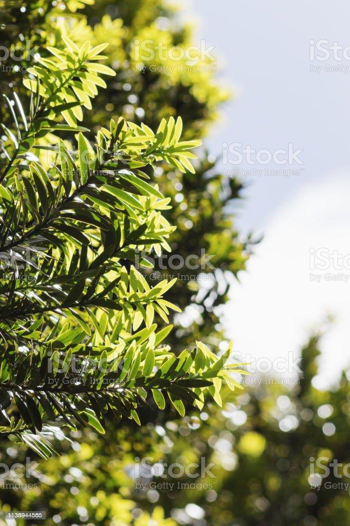 Enchanted banyan a tree of life. Closeup Image Of Totara Tree Leaves Podocarpus Totara Stock Photo Download Image Now Istock