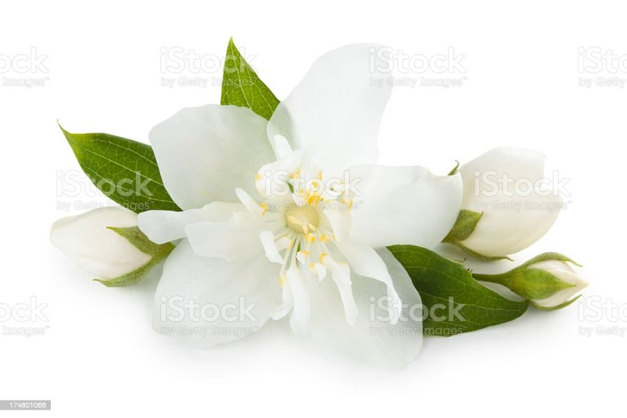 Royalty Free Jasmine Flower Pictures  Images and Stock Photos   iStock A close up of a jasmine flower stock photo