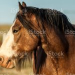 Clydesdale Horses Stock Photo Download Image Now Istock