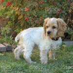 Cocker Spaniel Puppy Pausing Stock Photo Download Image Now Istock