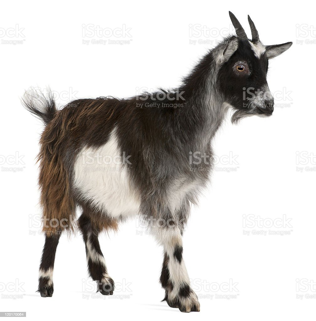 Best Goat Stock Photos Pictures RoyaltyFree Images