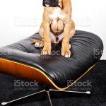 Cute Baby Boxer On Letaher Dog Stock Photo Download Image Now Istock