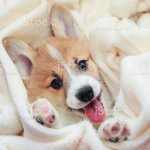 Cute Homemade Corgi Puppy Lies In A White Fluffy Blanket Funny Sticking Out His Face And Paws Stock Photo Download Image Now Istock