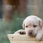 Cute White Labrador Puppy Stock Photo Download Image Now Istock