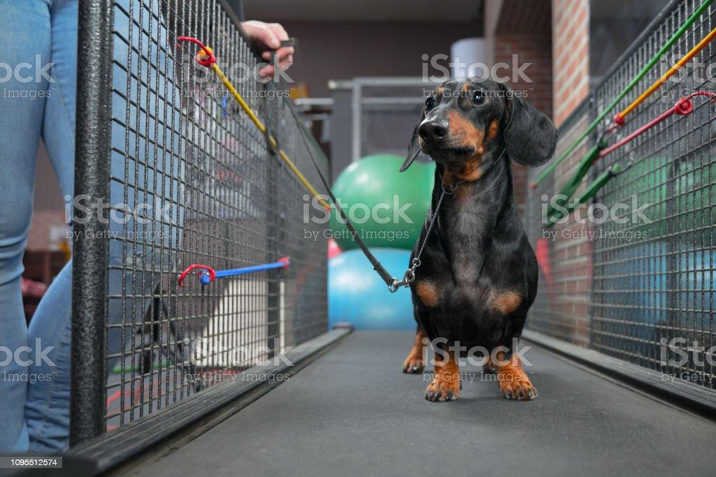 https www istockphoto com fr photo chien teckel marche sur tapis roulant pour les obtenir de saine int c3 a9rieure exercer gm1095512574 294084039