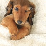 Dachshund Puppy Winking Stock Photo Download Image Now Istock