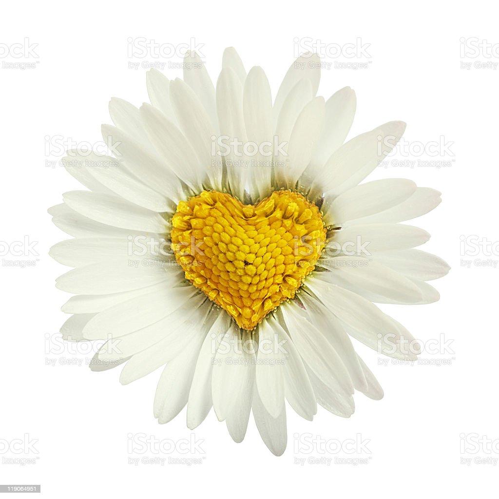 White Daisy Flower Clip Art