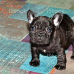 Funny French Bulldog Puppy Stock Photo Download Image Now Istock