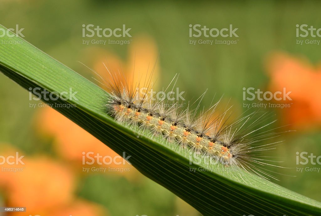 caterpillars have a series of white dashes on the back. Fuzzy Tent Caterpillar Foton Och Fler Bilder Pa 2015 Istock