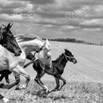 Galloping Horses Mares And Foals Monochrome Stock Photo Download Image Now Istock