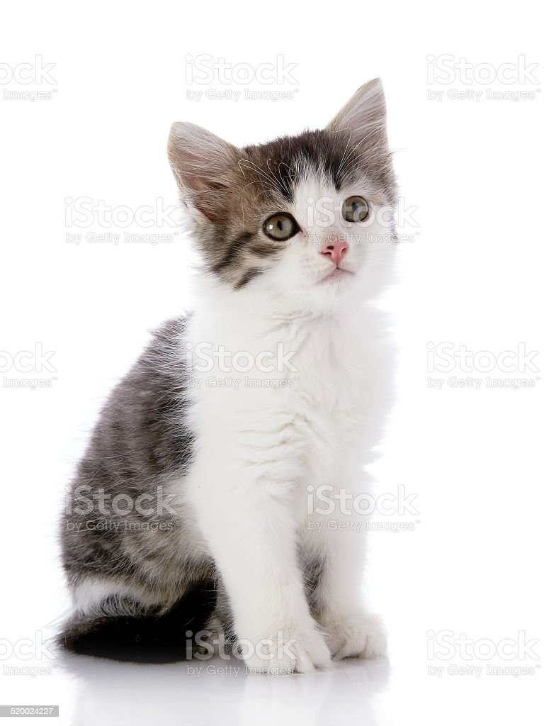 https www istockphoto com fr photo gris avec le petit chat blanc gm520024227 49774900