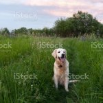 Happy Smiling Golden Retriever Puppy Dog In The Green Grass Meadow In Sunny Summer Evening Pets Care And Happiness Concept Copy Space Background Stock Photo Download Image Now Istock