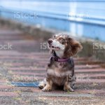 Long Haired Dapple Miniature Dachshund Doxie Puppy Weiner Dog Stock Photo Download Image Now Istock
