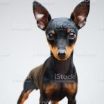 Miniature Pinscher Puppy Dog On Grey Background Stock Photo Download Image Now Istock