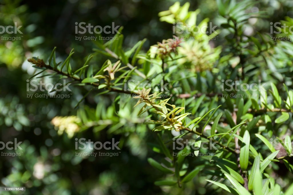 Not art with a capital a, but it's little projects like these that keep me sane. 55 Totara Tree Stock Photos Pictures Royalty Free Images Istock