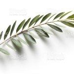 Foto De Olive Branch Simbolo Da Paz E Mais Fotos De Stock De Botanica Assunto Istock