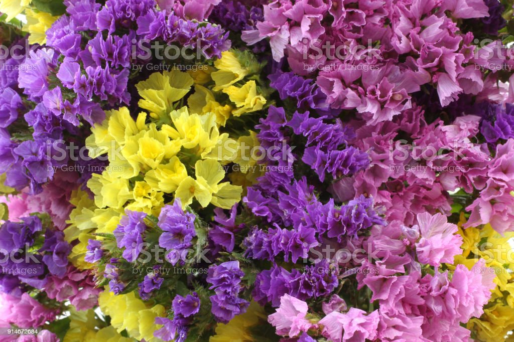 Pink Purple Yellow White Statice Flowers Limonium Background Stock     Pink  purple  yellow  white Statice flowers   Limonium Background  royalty free stock