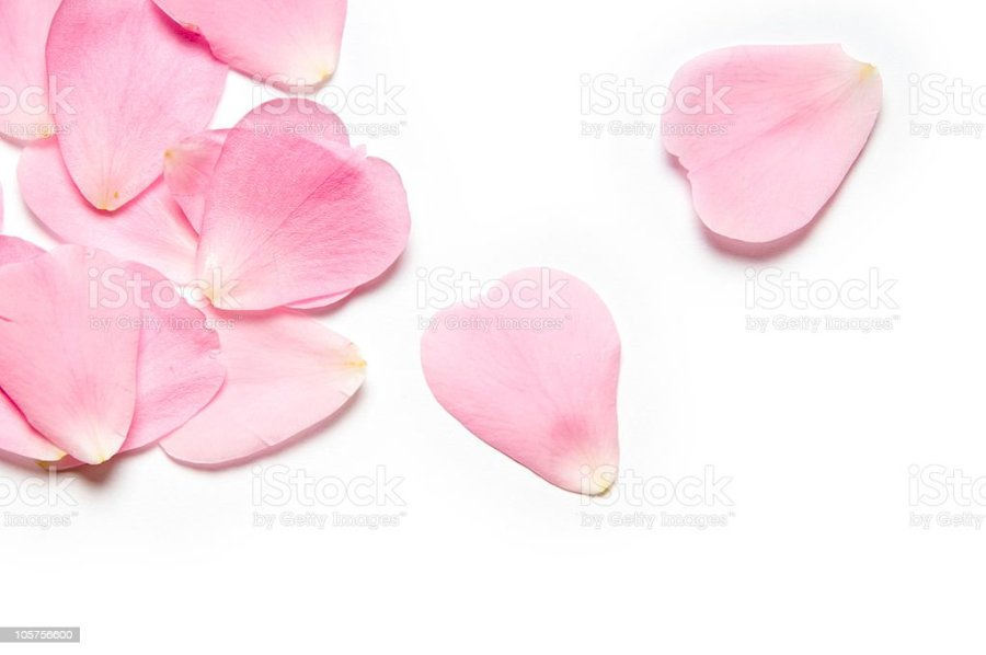 Royalty Free Flower Petals Pictures  Images and Stock Photos   iStock Pink rose petals stock photo