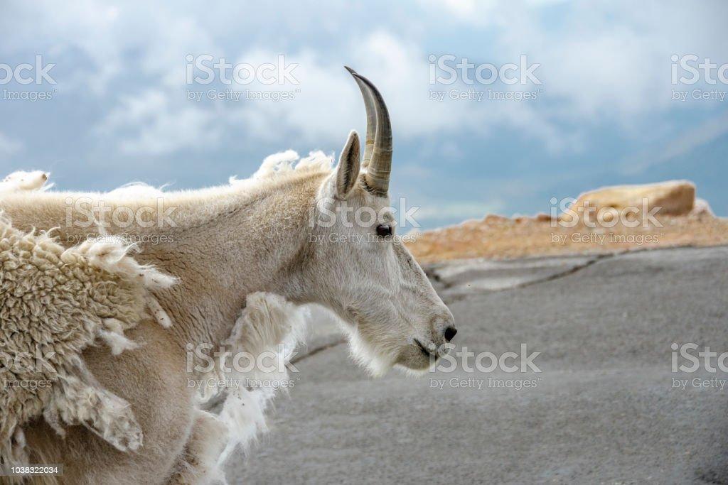 photo libre de droit de voir le profil un bouc de montagne sur le mont evans dans le colorado banque d images et plus d images libres de droit de animaux a l etat sauvage