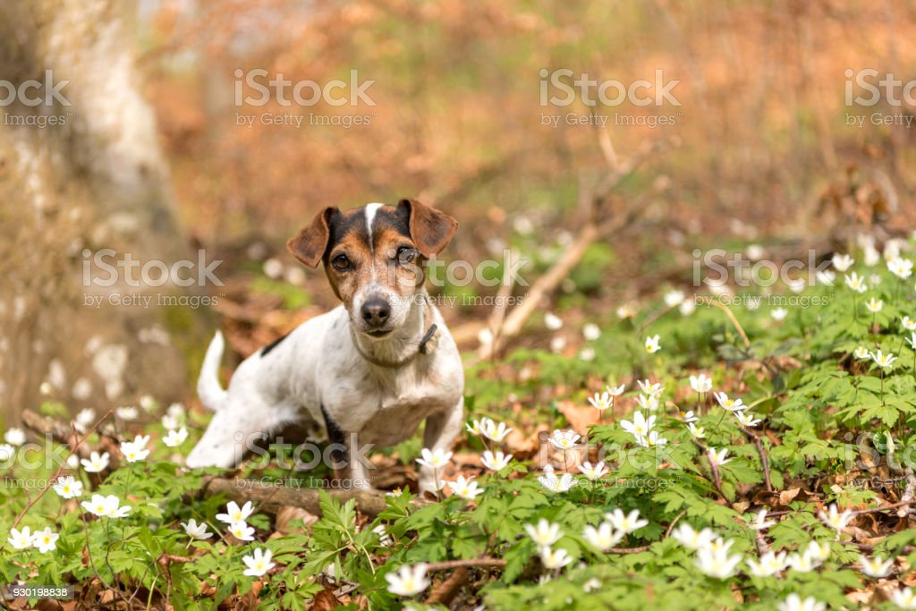 Proud Dog Stands In The Woods In Spring In Anemone Flowers Cute     Proud dog stands in the woods in spring in anemone flowers   Cute little  Jack Russell