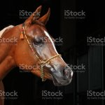 Purebred Arabian Horse Portrait Of A Bay Mare With Jewelry Bridle In Dark Background Stock Photo Download Image Now Istock