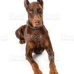 Red Doberman Pinscher Dog Lying Down Stock Photo Download Image Now Istock