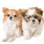 Shih Tzu Puppy And Chihuahua Stock Photo Download Image Now Istock