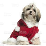 Shih Tzu Puppy Wearing Santa Outfit Sitting White Background Stock Photo Download Image Now Istock