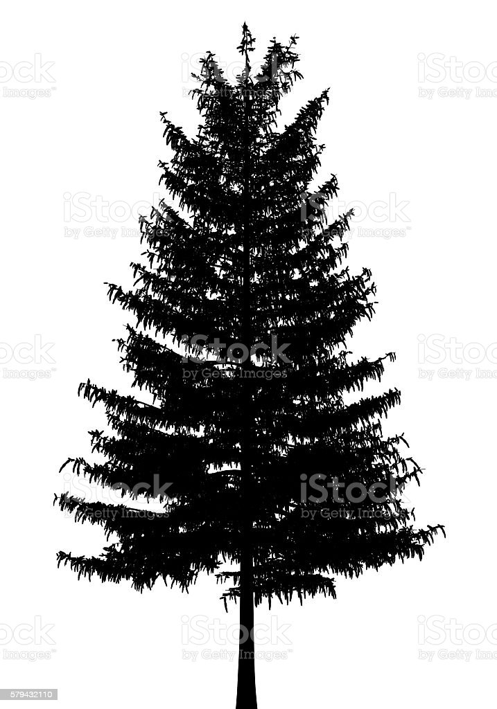 A solitary totara tree, a native tree of new zealand. Silhouette Of European Larch Tree Isolated On White Background Stock Photo Download Image Now Istock