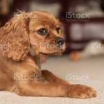 A Single Ruby Cavalier King Charles Spaniel Puppy Stock Photo Download Image Now Istock