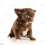 Small Brown Longhaired Chihuahua Puppy Isolated Stock Photo Download Image Now Istock