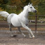 Spotted White Horse In Running Pose Stock Photo Download Image Now Istock
