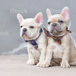 Two 7 Weeks Old Lilac Fawn Colored French Bulldog Dog Puppies Wearing Bow Ties Sitting Together In Front Of Gray Wall Stock Photo Download Image Now Istock