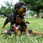 Two Funny Rottweiler Puppies Playing Outdoors Stock Photo Download Image Now Istock