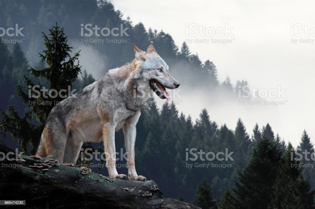 Top 60 Wolf Stock Photos Pictures and Images iStock