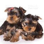 Yorkshire Terrier Puppies On A White Background Stock Photo Download Image Now Istock