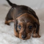 Young Miniature Dachshund Puppy Stock Photo Download Image Now Istock