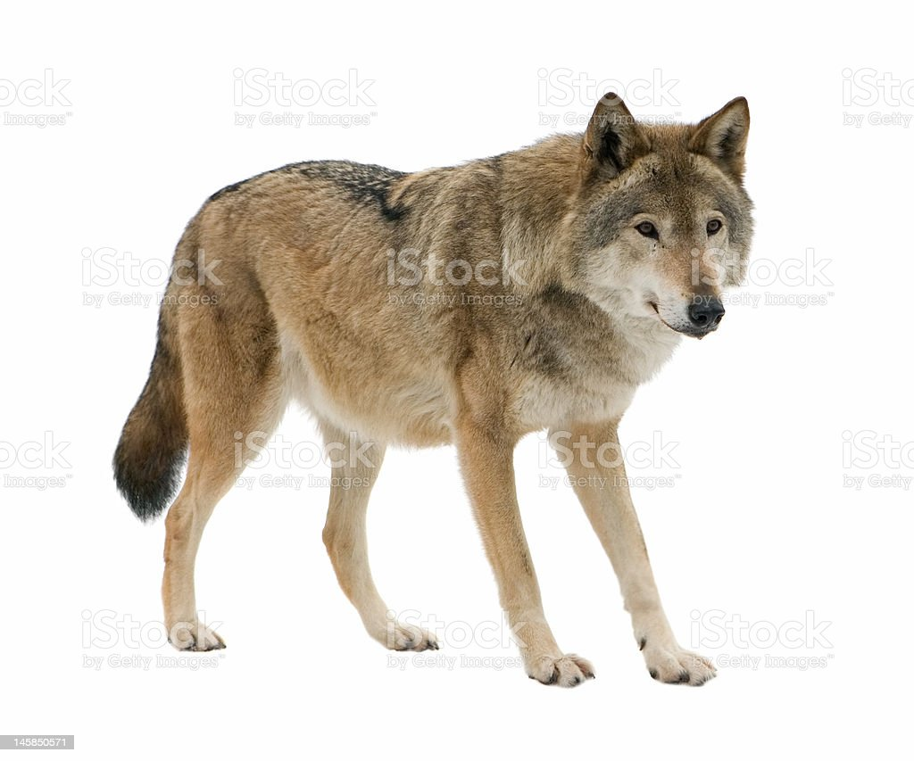 Best Wolf Stock Photos Pictures RoyaltyFree Images