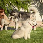 Foto De Young Woman Playing With The Dogs Siberian Husky Puppies E Mais Fotos De Stock De Adulto Istock