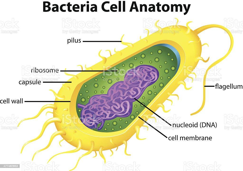 Eukaryotic Animal Cell Anatomy Choice Image - human body anatomy