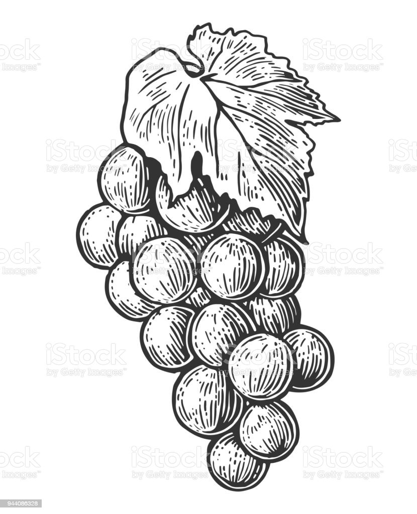 grappe de raisin noir et blanc vintage gravure vector illustration pour etiquette affiche web isole sur fond blanc vecteurs libres de droits et plus d images vectorielles de agriculture istock