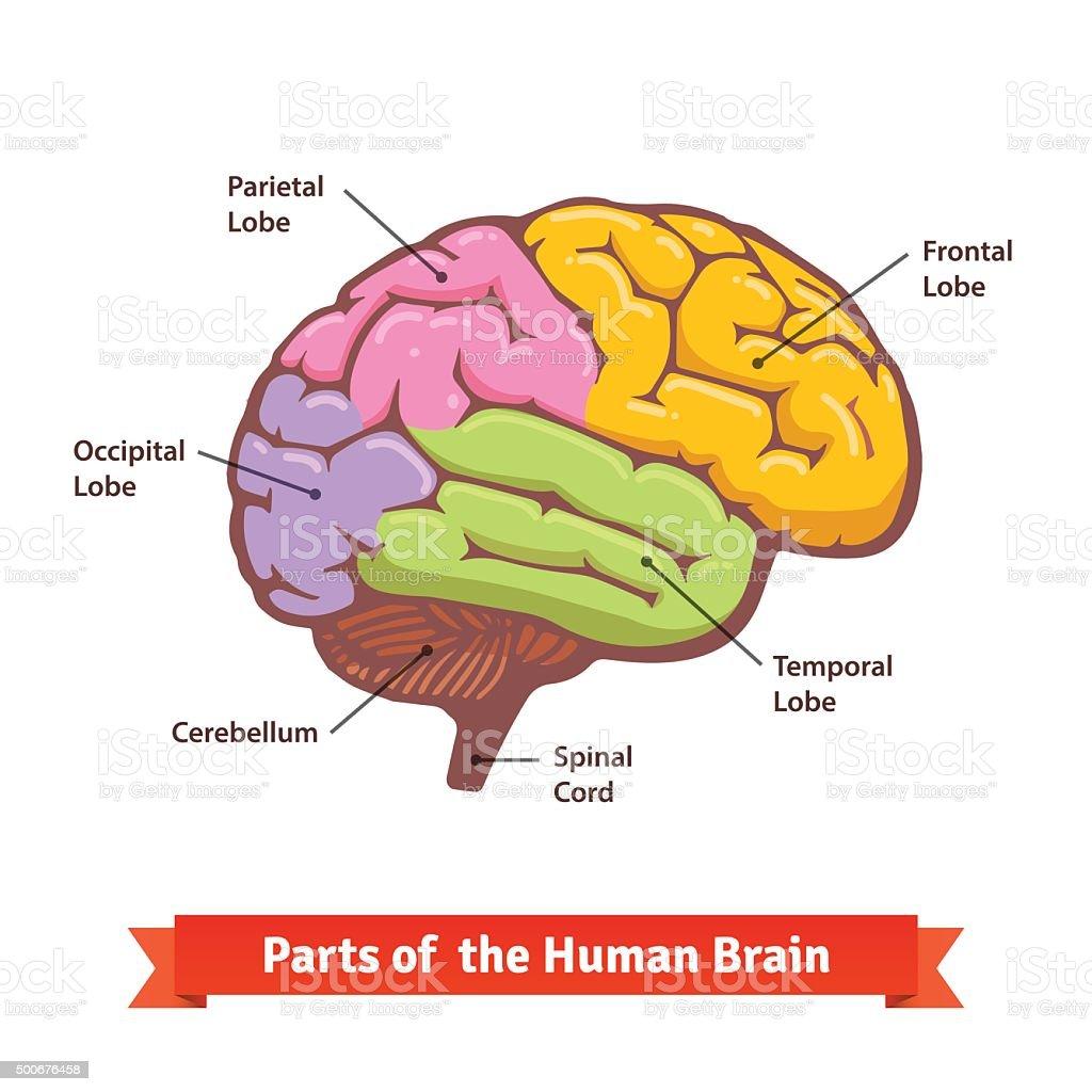Dog Brain Diagram Color - Illustration Of Wiring Diagram •