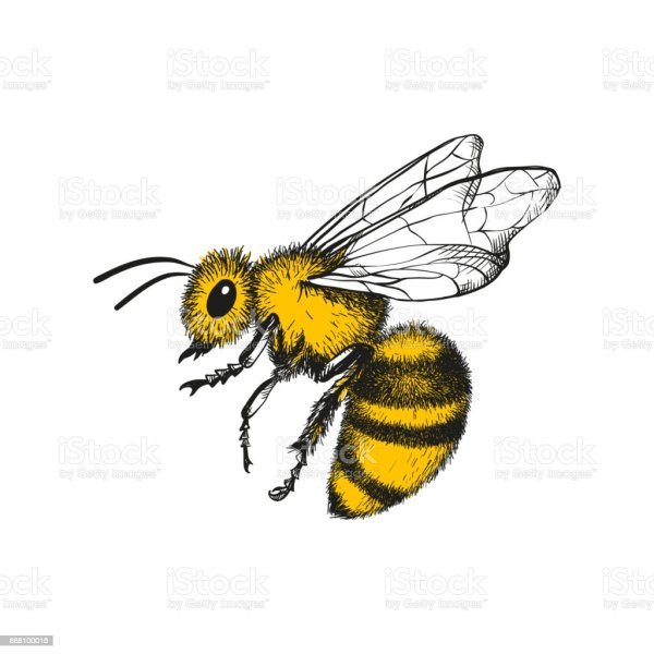 Engraving Illustration Of Honey Bee Stock Vector Art