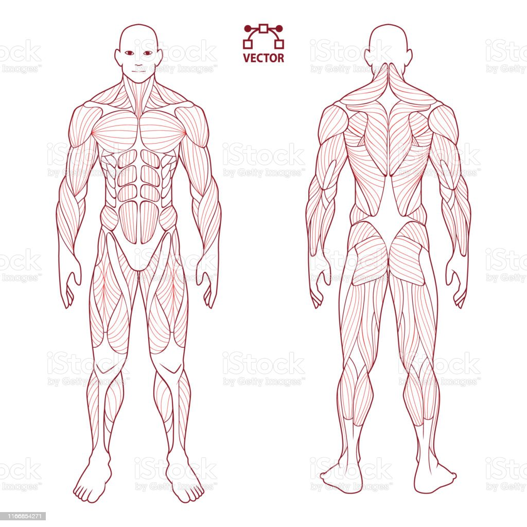 human body anatomy male man front and back muscular system of muscles flat medical scheme poster of training healthcare gym vector illustration stock illustration download image now istock
