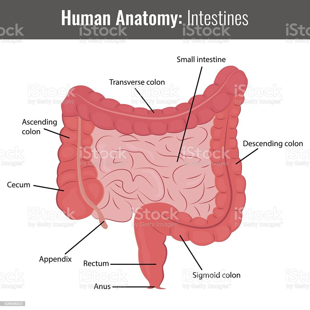 Colon Large Intestine Diagram - Car Wiring Diagrams Explained •
