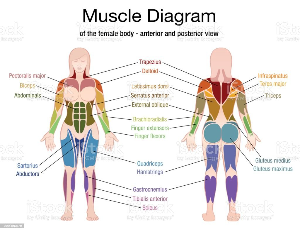 Muscle Diagram Of The Female Body With Accurate