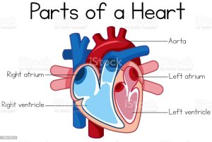 Parts Of Heart Diagram Stock Illustration  Download Image