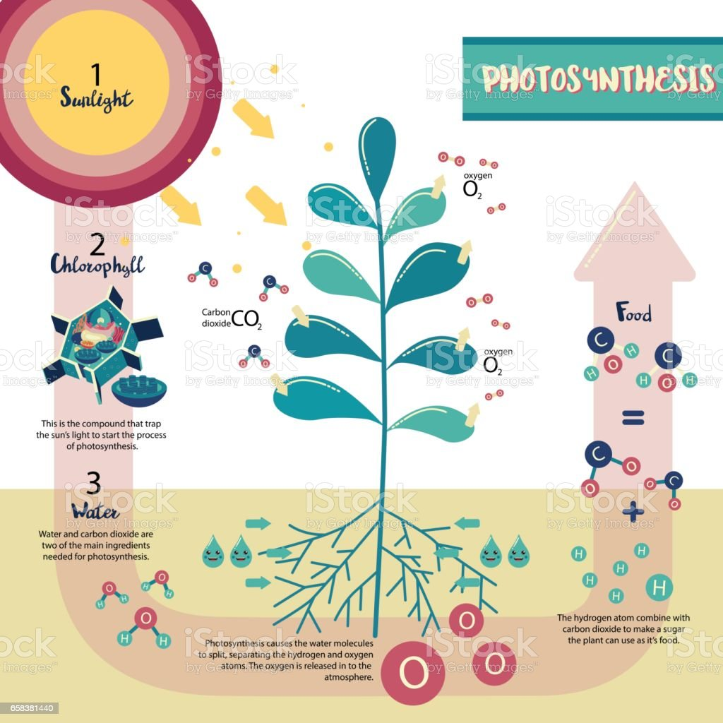Plant Cell Photosynthesis Cycle Diagram - Data Wiring Diagrams •
